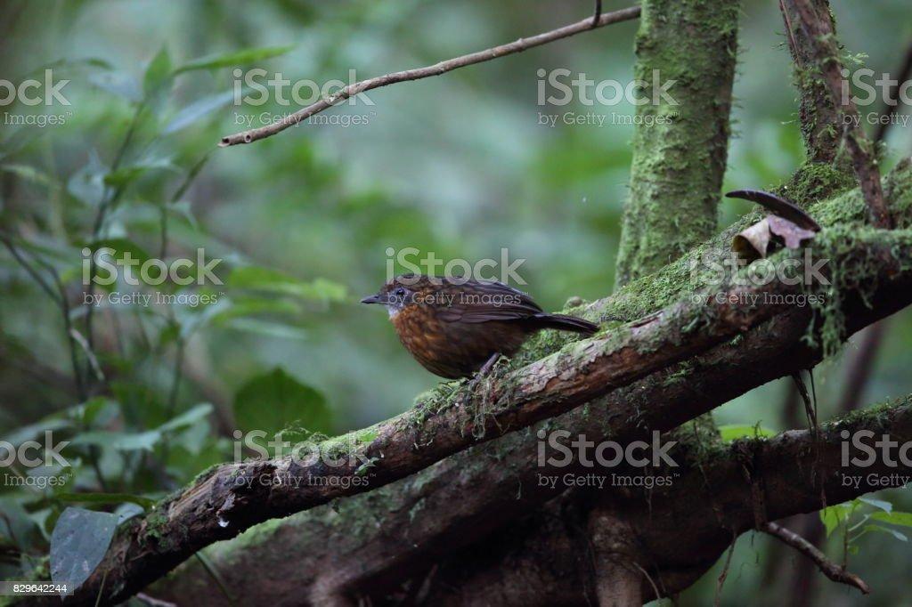 Rusty-breasted Wren-Babbler stock photo