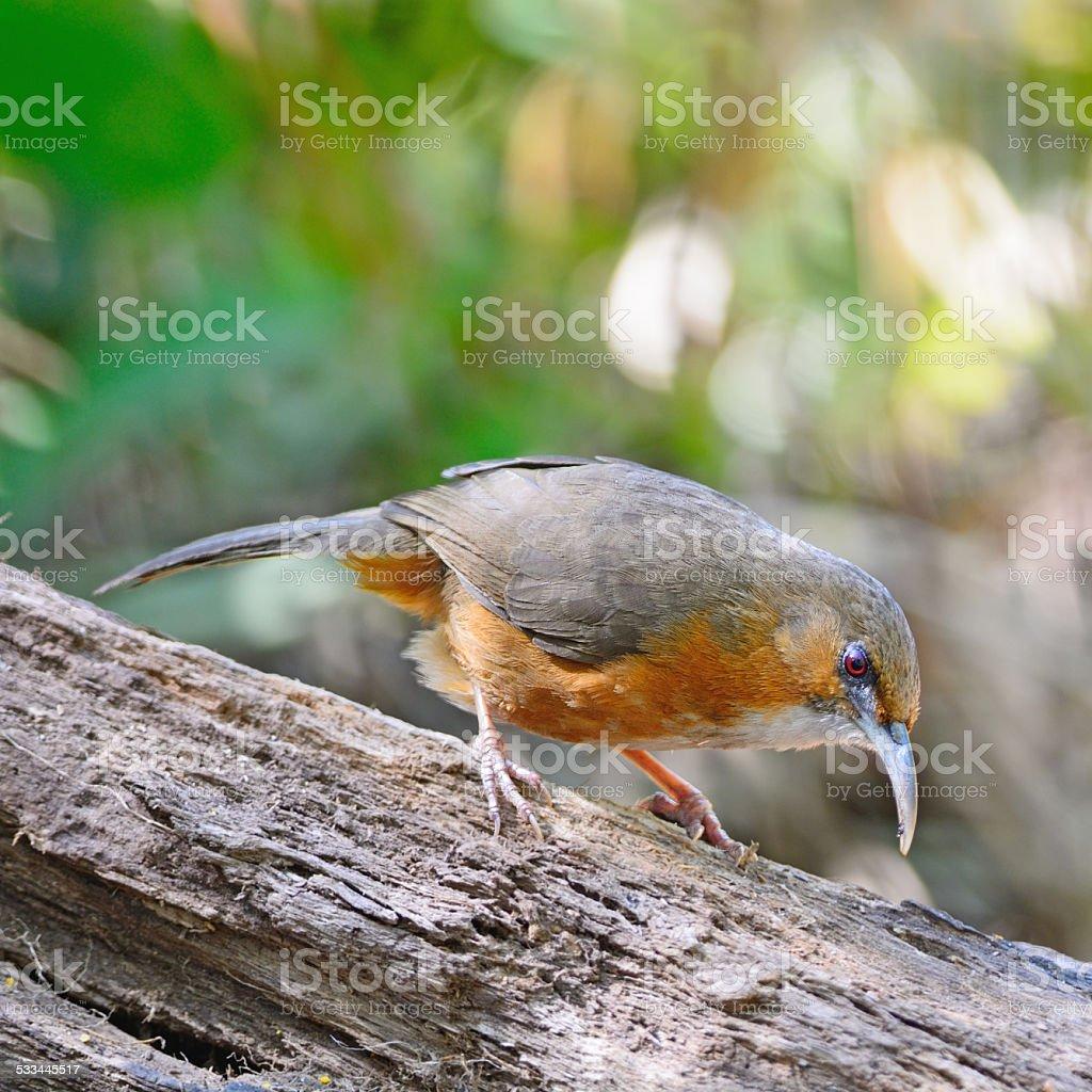 Rusty-cheeked Scimitar-babbler stock photo