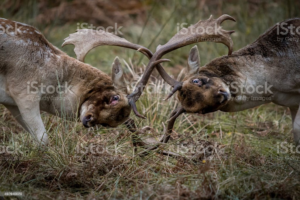 Rutting Deer Bucks stock photo