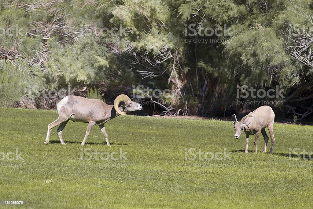 Rutting Desert Bighorns royalty-free stock photo