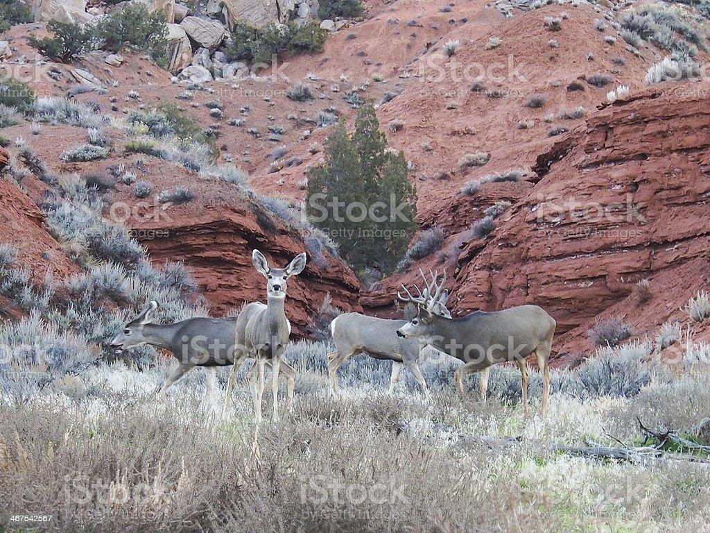 Rutting Mule Deer Buck in Dinosaur National Monument stock photo
