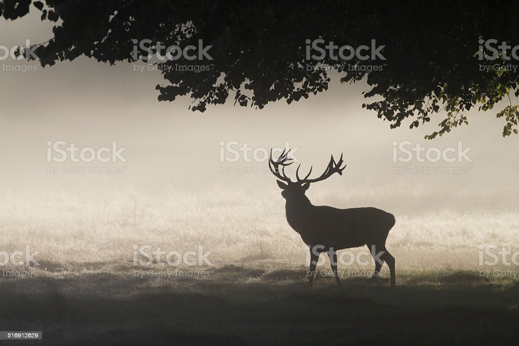 Magnificent rutting stag in foggy landscape silhouette stock photo