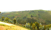 Rwanda: tea plantation close to the Nyungwe forest Butare side