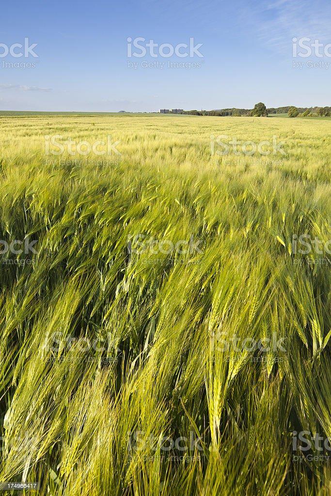 Rye Field In Spring royalty-free stock photo