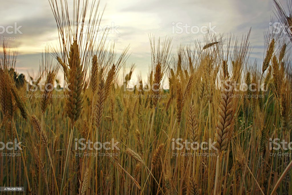 Rye field royalty-free stock photo