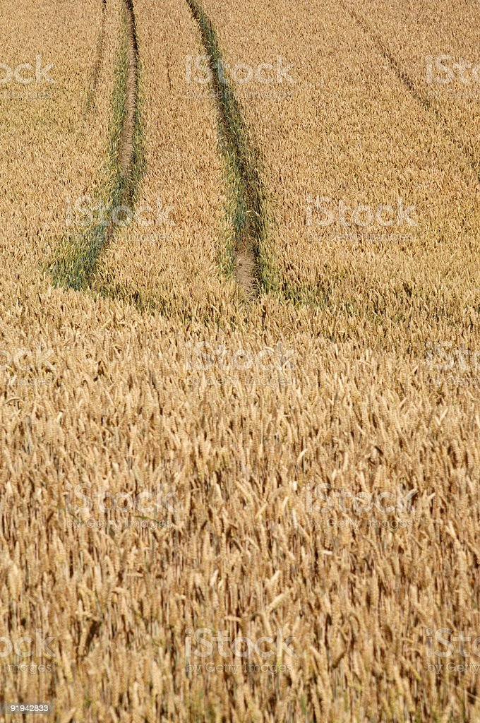 Rye Field Series #1 stock photo