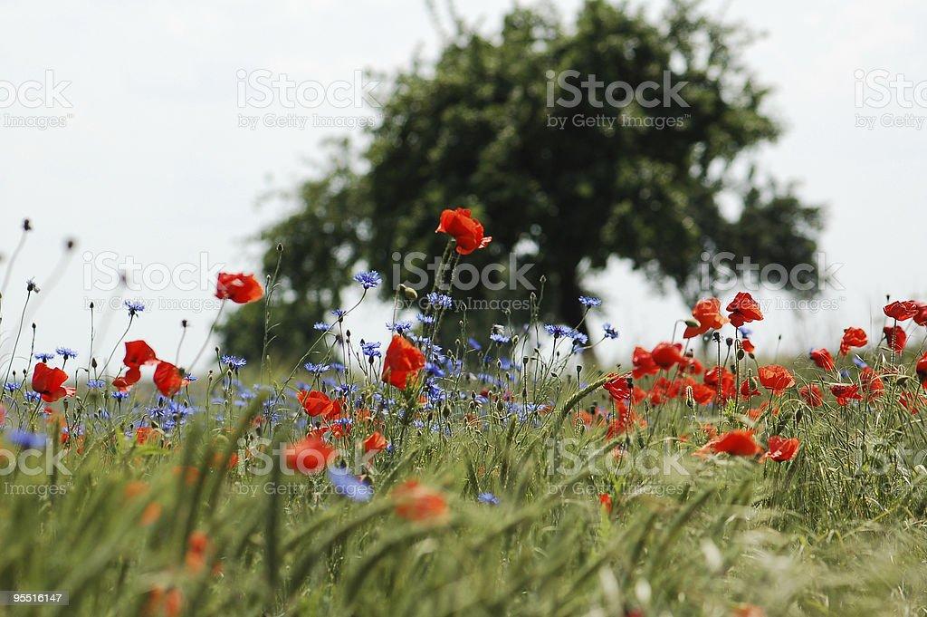 rye field with poppy and cornflowers stock photo