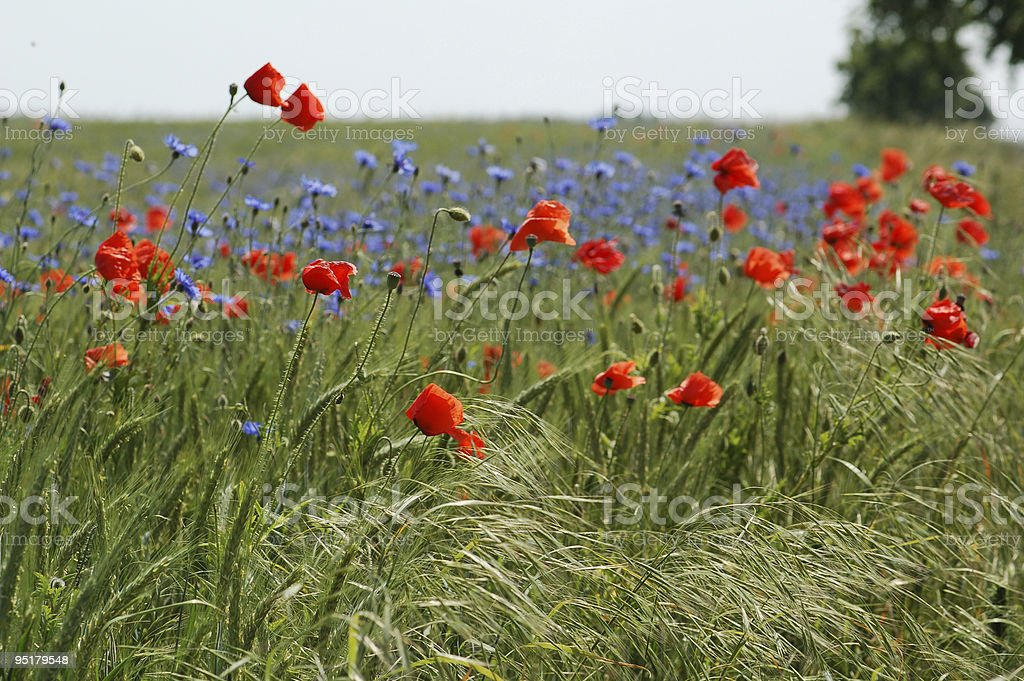 rye field with red and blue poppies stock photo