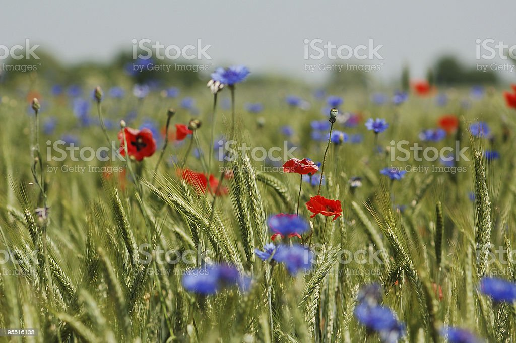 rye field with red poppies and blue cornflowers stock photo