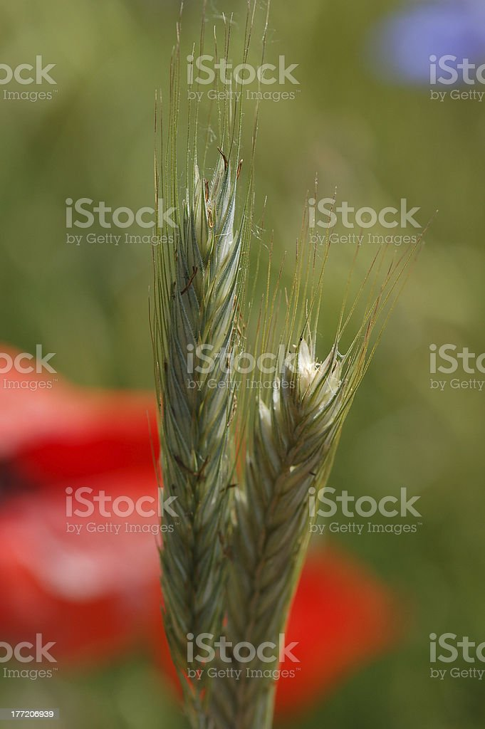 rye field with red poppy flower royalty-free stock photo