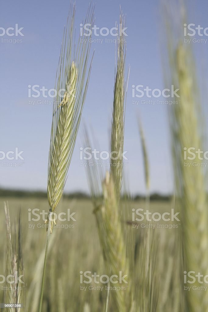 Rye Head Pollinating royalty-free stock photo