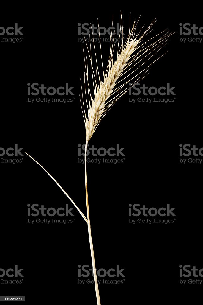 rye royalty-free stock photo
