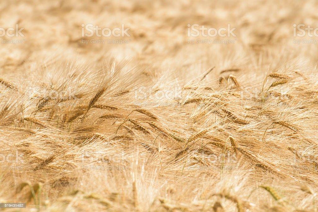 Rye stock photo