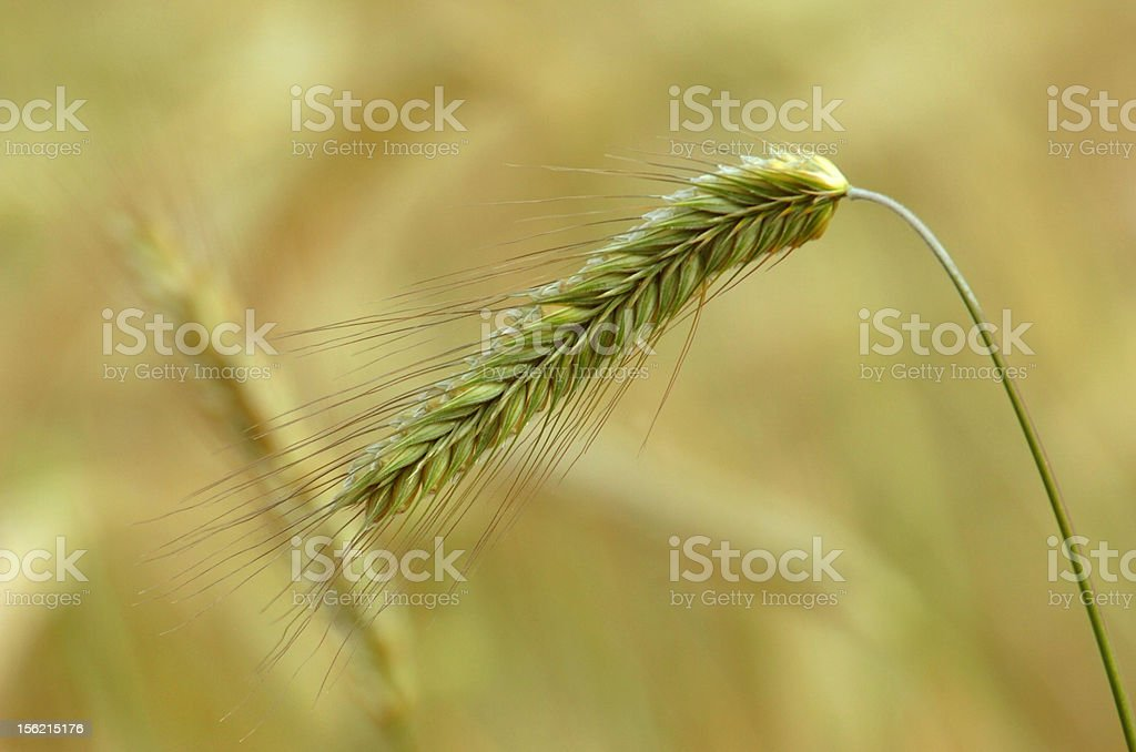 rye ripe stock photo