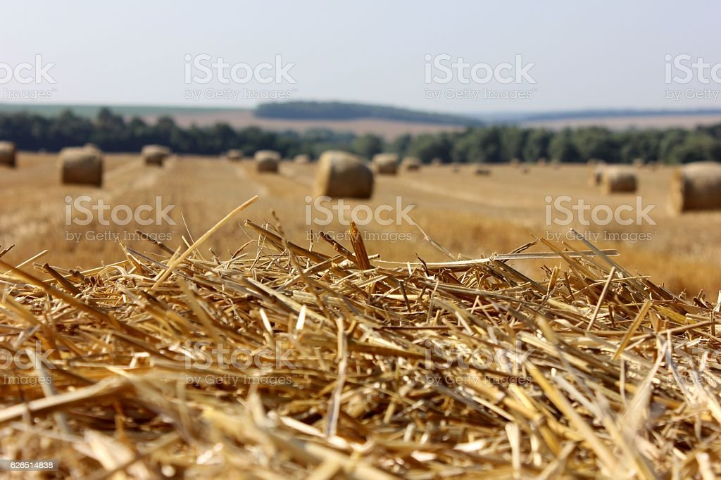 Rye straws with the hay stack background stock photo