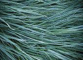 Ryegrass grass in the garden after the rain