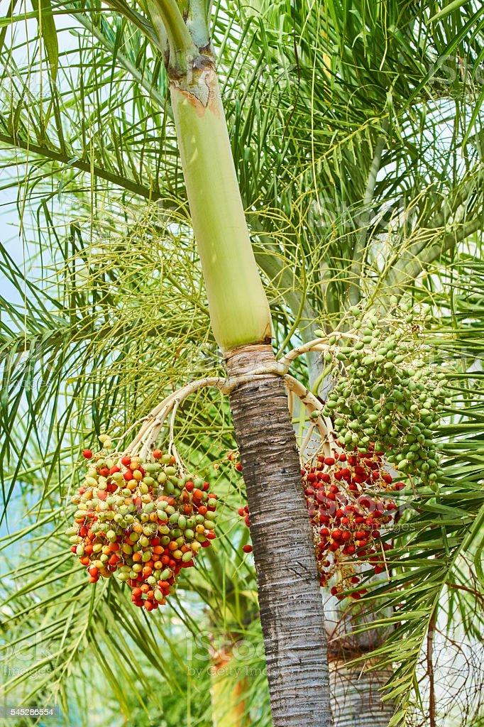 Rystonea regia with fruits. stock photo