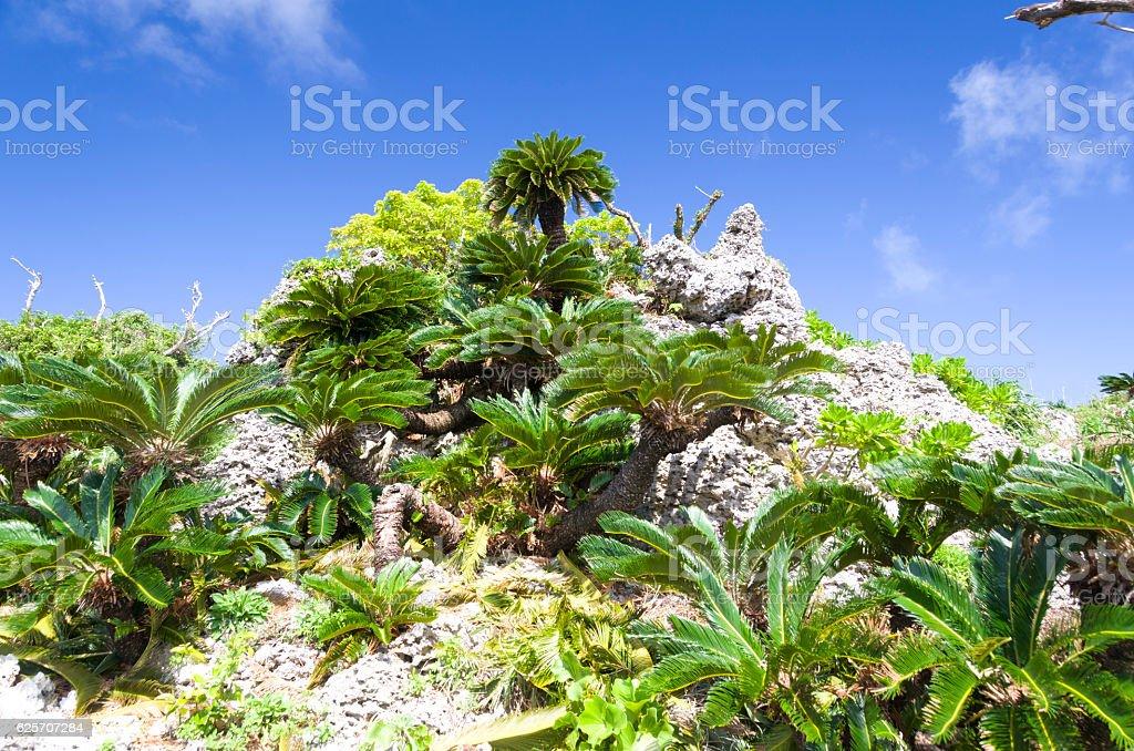 Ryukyu limestone and cycad stock photo