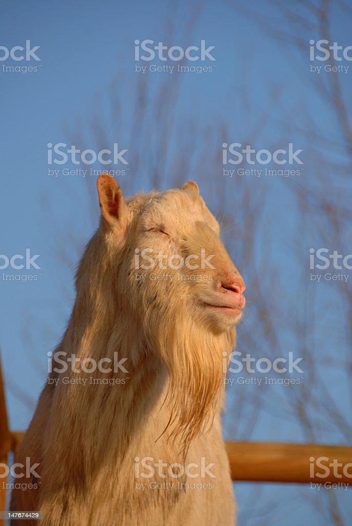 Saanen ,billy goat stock photo