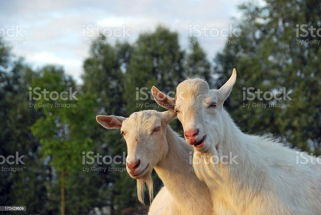 Saanen goat by sunset stock photo