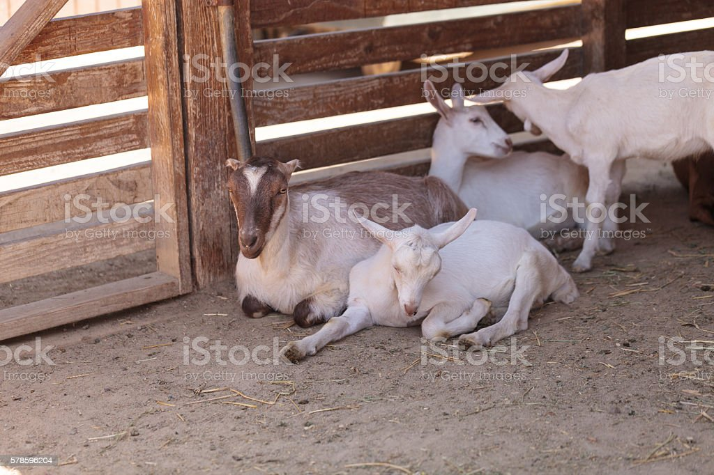 Saanen Goat, Capra aegagrus hircus stock photo