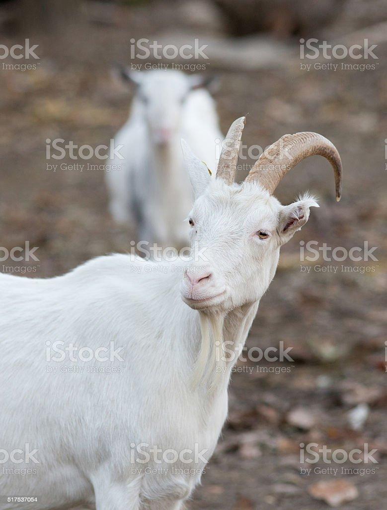 Saanen goat on the farm stock photo