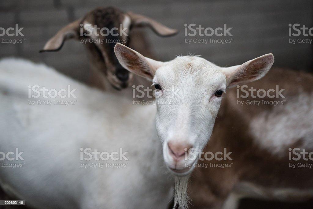 Saanen goat stock photo