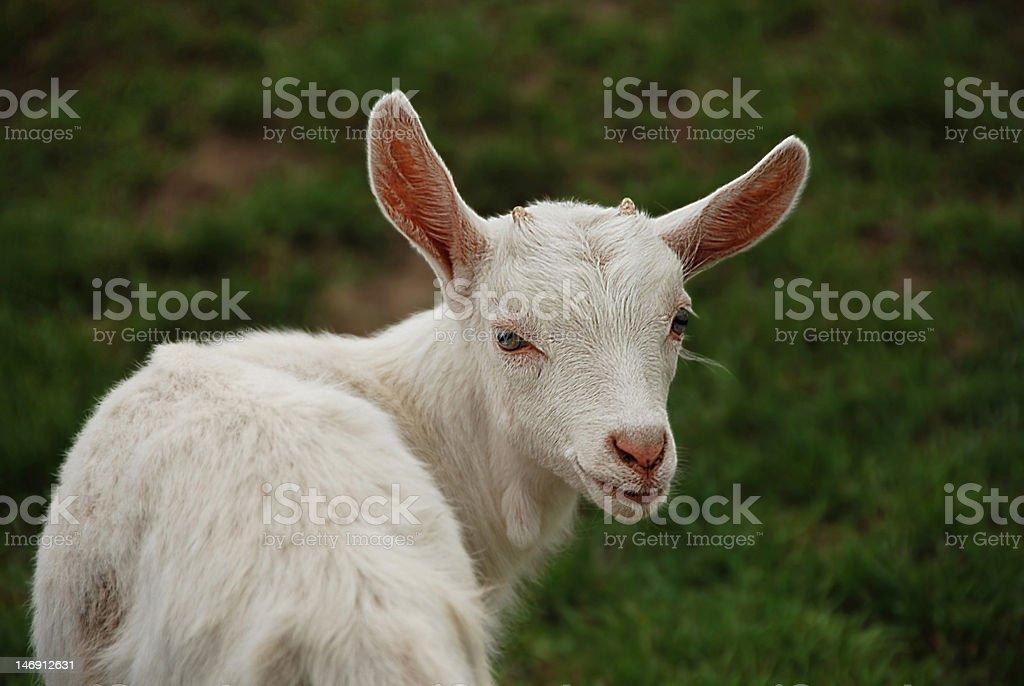 Saanen goat with big ears stock photo