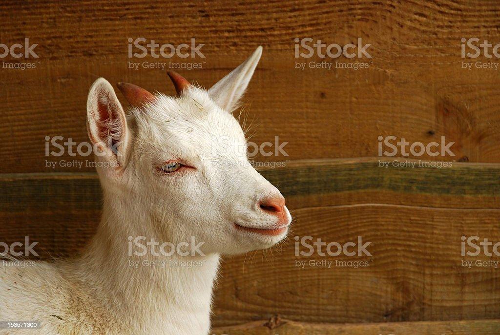 Saanen kid goat portrait stock photo