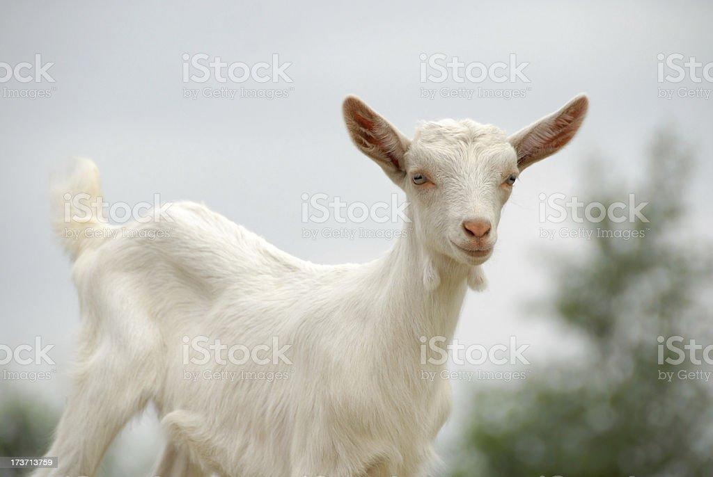 Saanen kid goat standing in front. stock photo