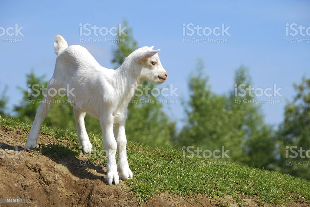 Saanen kidgoat stands on top of a hill stock photo