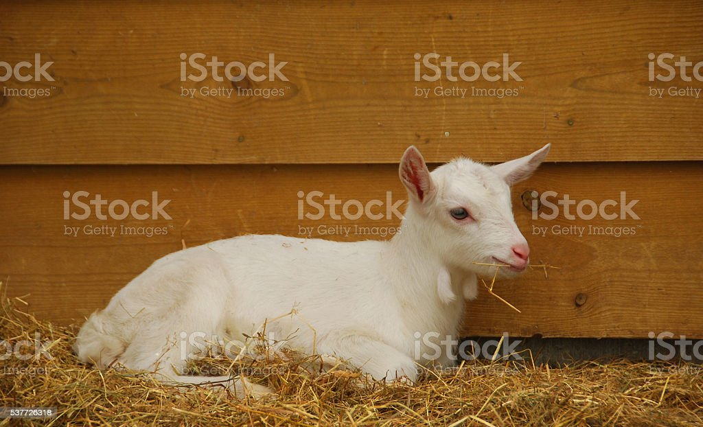 Saanen Lamb laying infront of a barn. stock photo