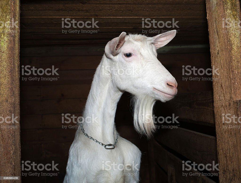 Saanen white goat in barn stock photo