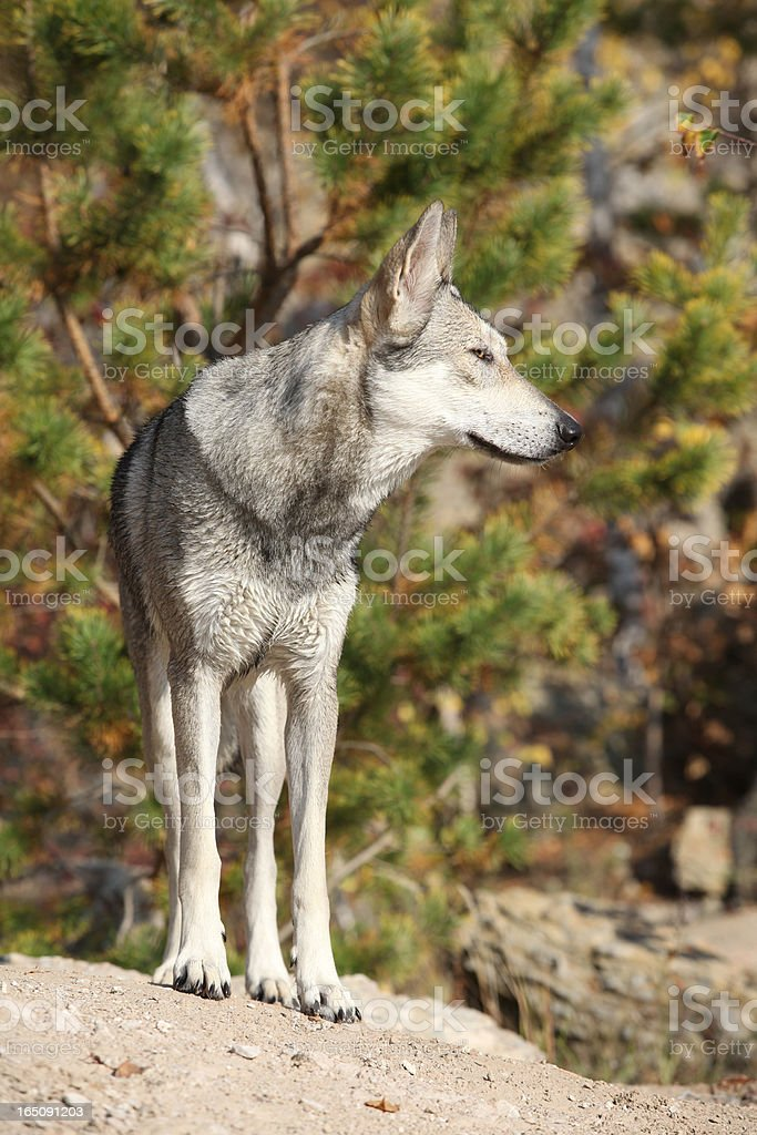Saarloos Wolfhound royalty-free stock photo