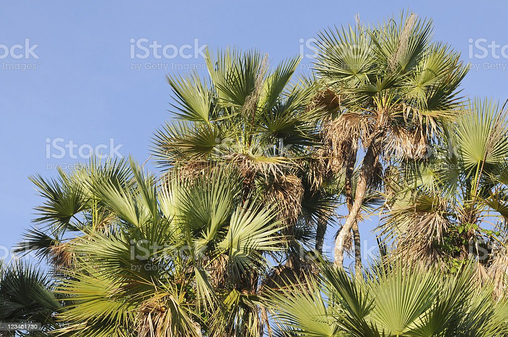 sabal palm, Sabal palmetto stock photo