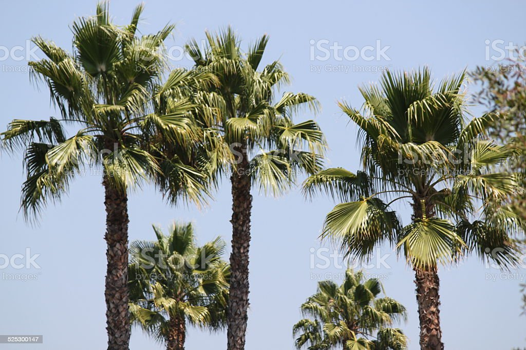 Sabal Palm Trees stock photo