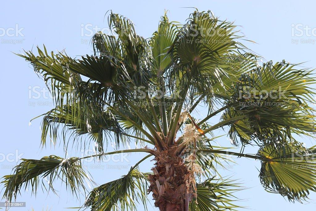 Sabal Palmetto Palms stock photo