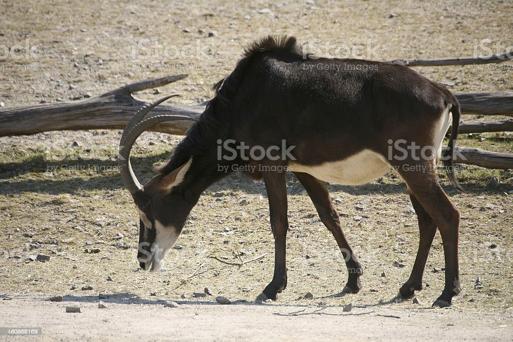 Sable antelope stock photo