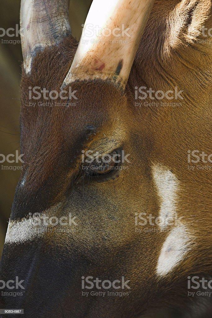 Sable Antelope (Hippotragus niger roosevelti ) royalty-free stock photo