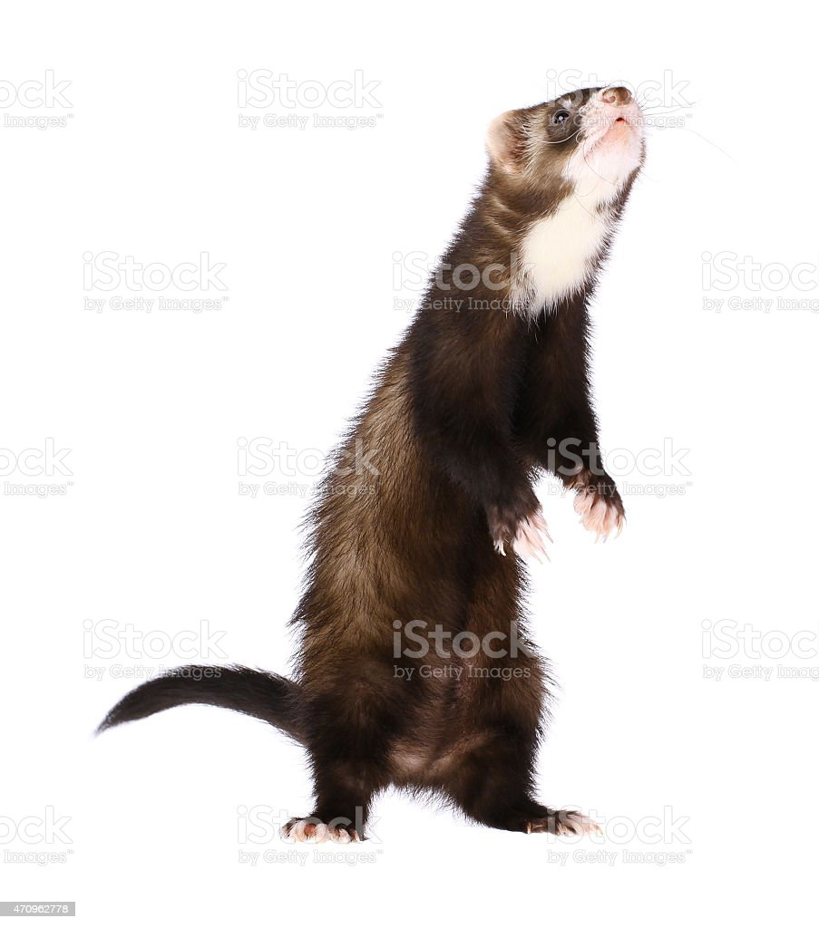 Sable Ferret Standing Up stock photo