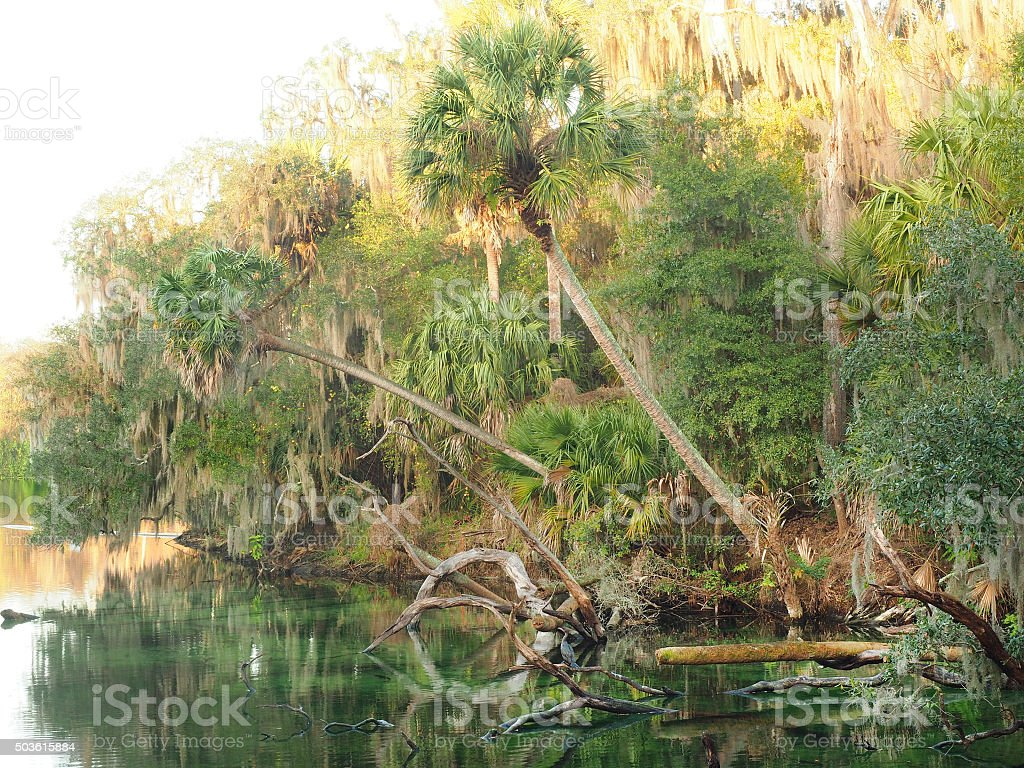 Sable Palms Hang Over the Spring as the Sun Rises stock photo