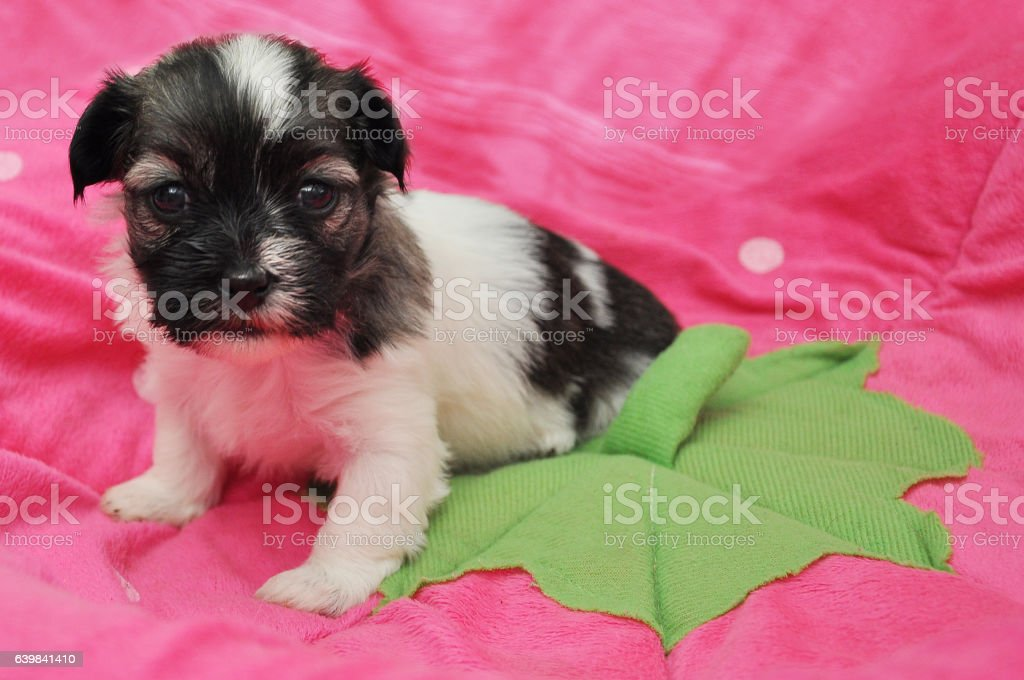 Sable parti havanese pup sitting on strawberry bed stock photo