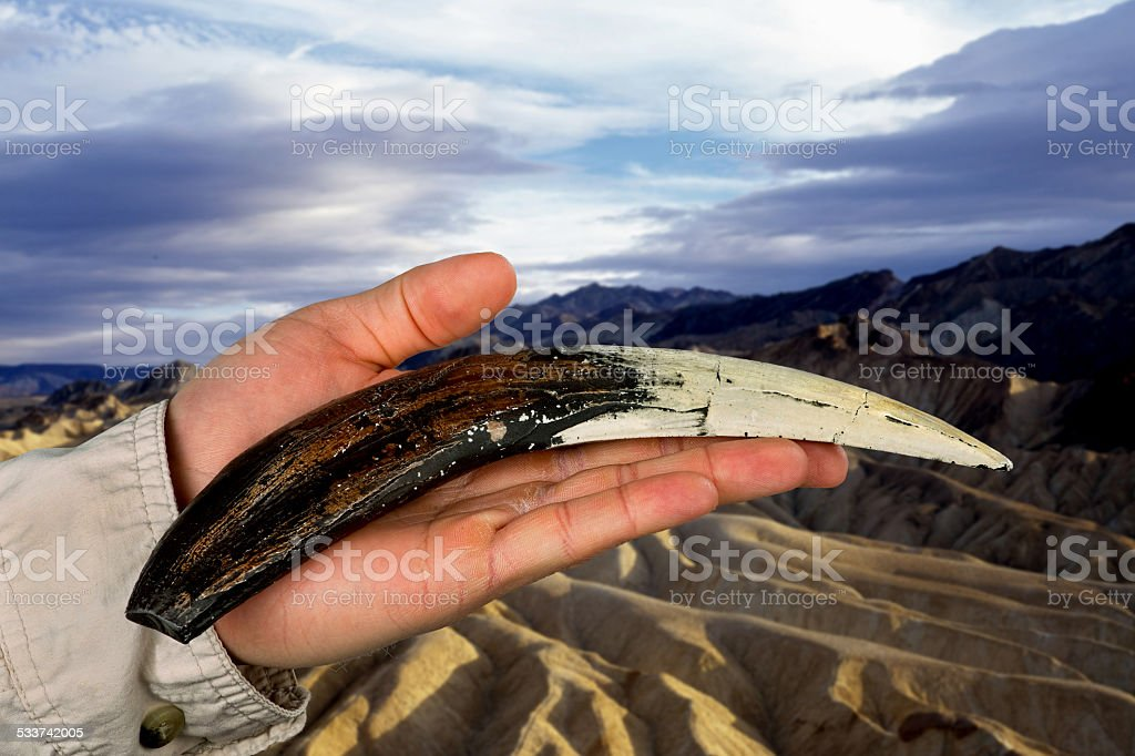 Sabor tooth Tiger tooth. stock photo