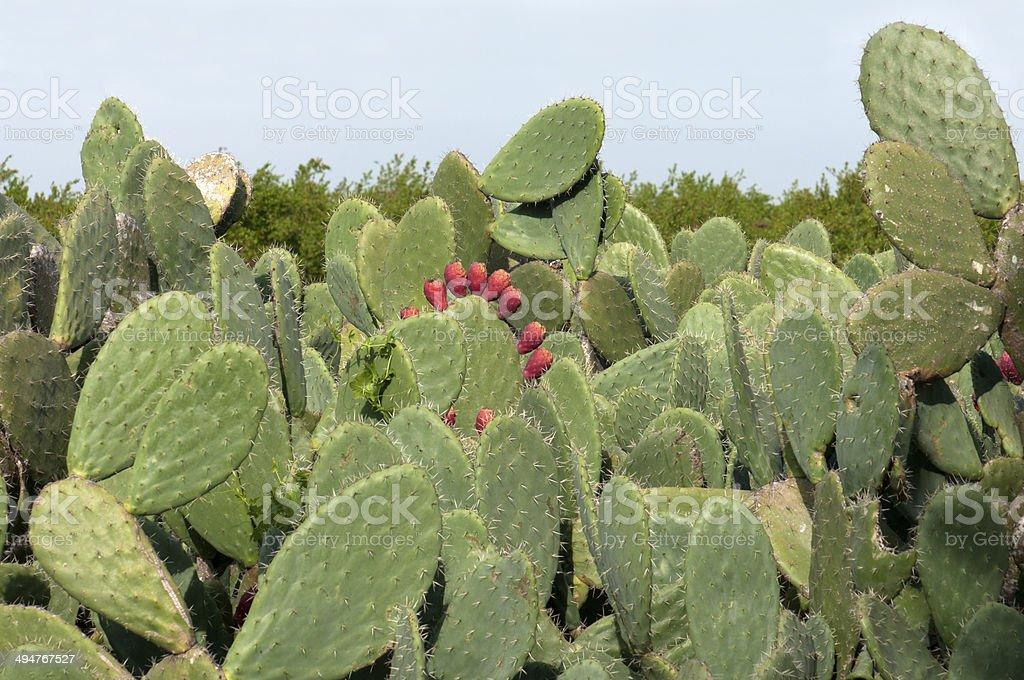Sabra fruit, Opuntia ficus-indica,prickly pear stock photo