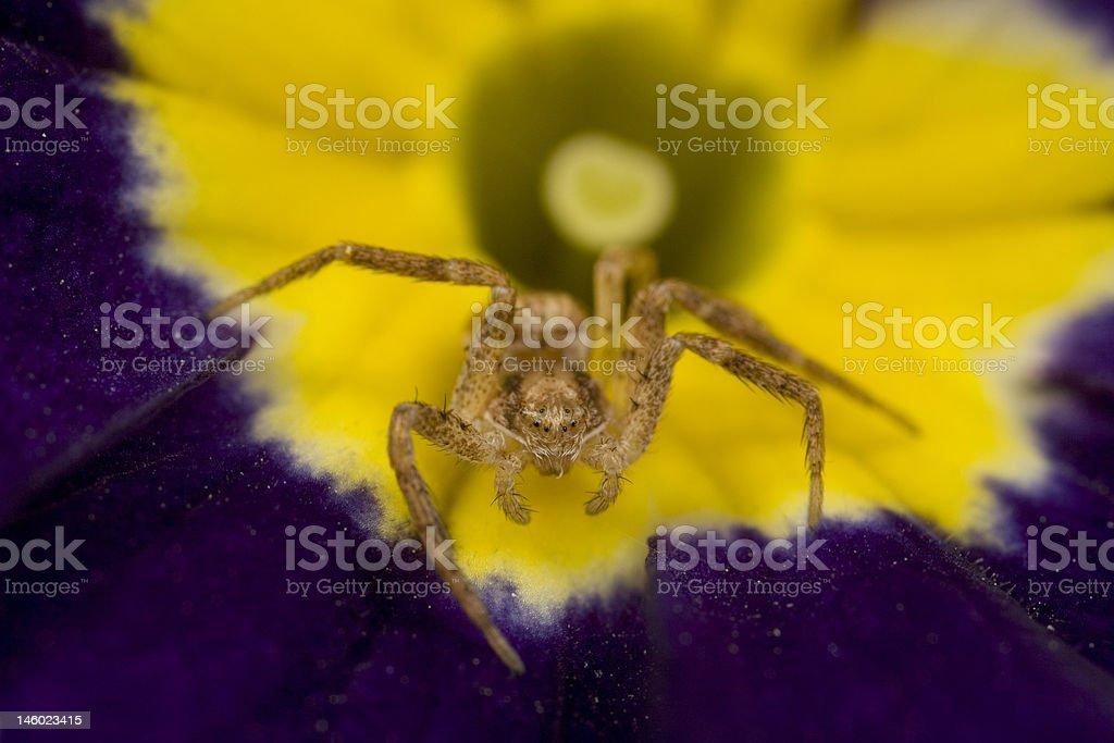 Sac spider on primrose royalty-free stock photo