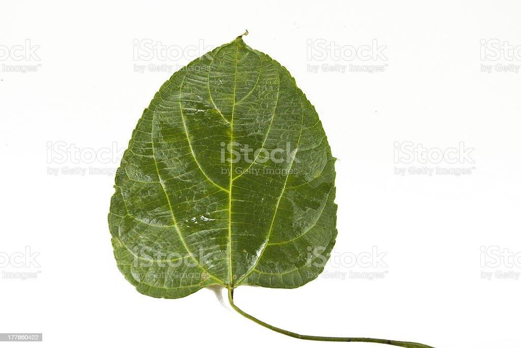 Sacha-Inchi leaf royalty-free stock photo