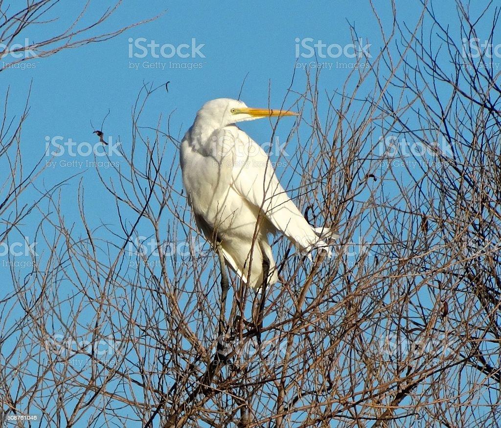 Sacramento Valley Egret stock photo