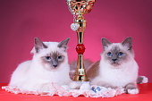 sacred Birma cat on a red background