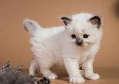 Sacred Birman kitten in the studio, purebred kittens isolated background