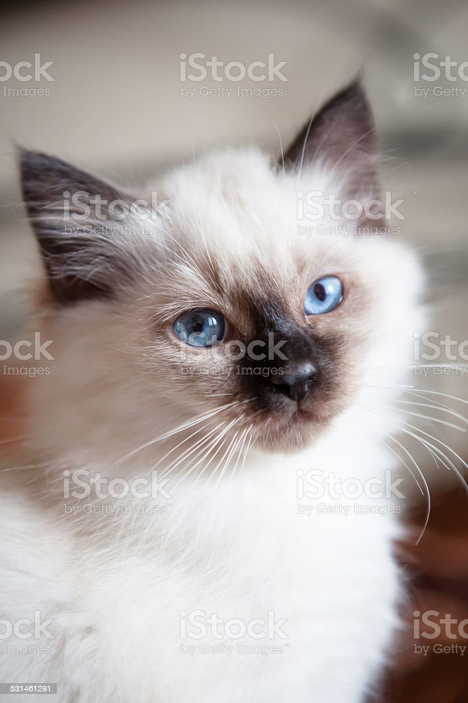 Sacred birman kitty stock photo